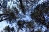 Še pogled v vrhove borovcev